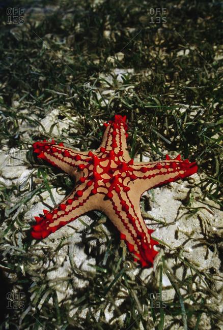 Seastar, Protorcaster lincki, in seagrass