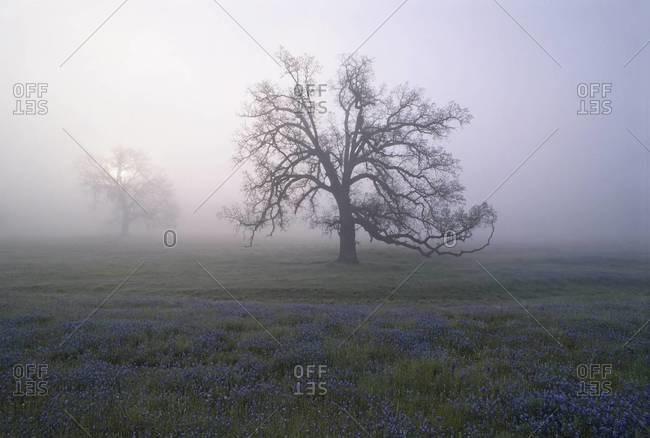 Oak trees in the mist of the early morning, in California.