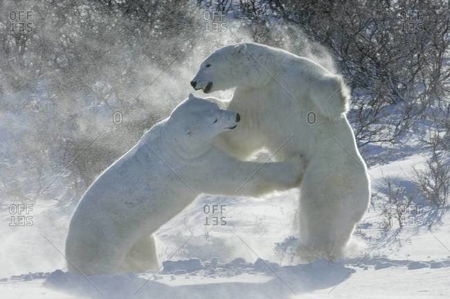 Polar bears in the wild Two animals wrestling each other.