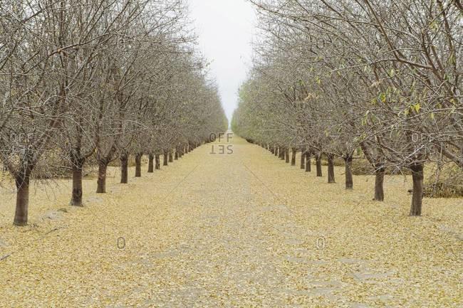 Rows of pistachio trees, San Joaquin Valley, near Bakersfield