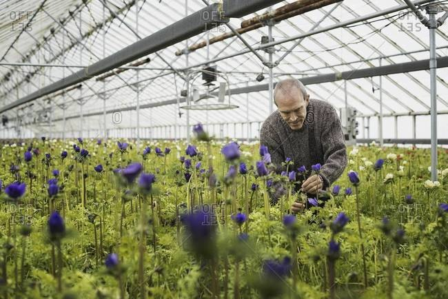 A man working in a plant nursery glasshouse in early spring.