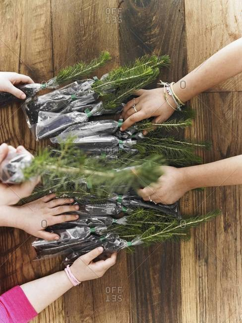 Three children sorting  rows of small evergreen seedlings