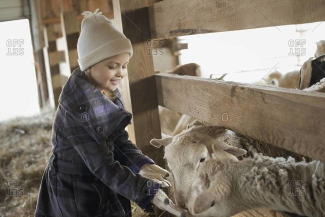 A child in the animal shed letting the sheep feed from her hand.