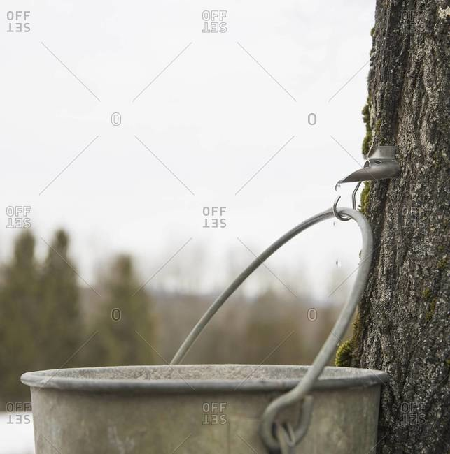A metal pail hanging from a hook in the bark of a maple tree.