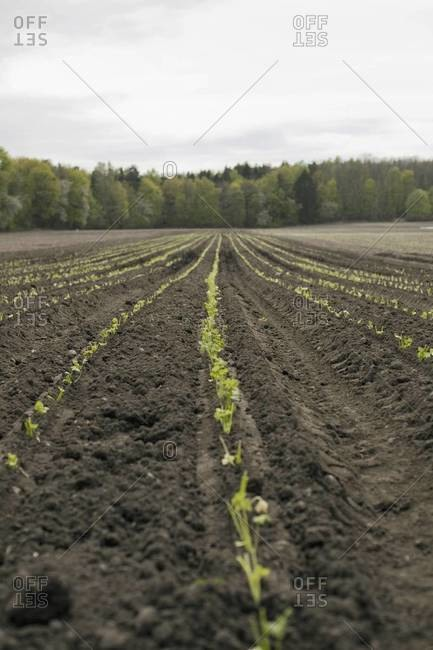 An open field, with ploughed earth. Seedlings growing in rows.