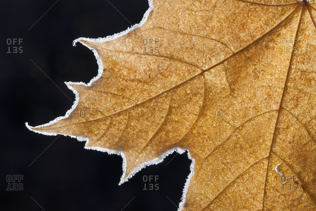 Part of a brown frosted maple leaf with central ribs and distinctive outline.