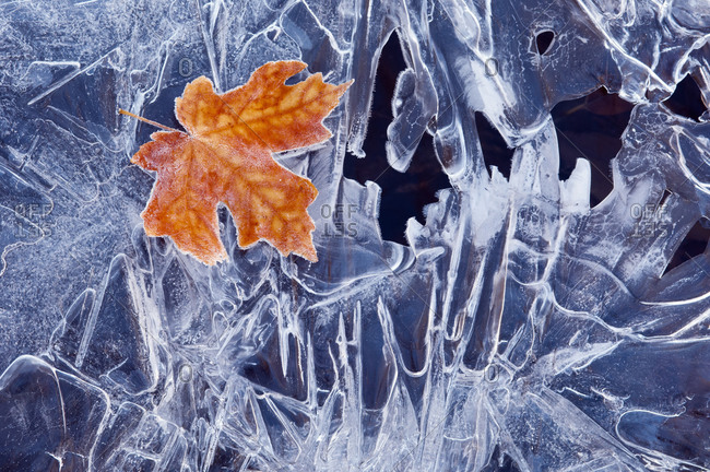 A brown maple leaf, frozen and frosted, lying on a sheet of ice, with jagged patterns of frost and ice crystals