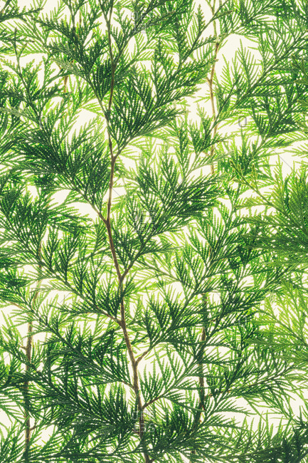 Western red cedar branch, close up of a branch with green thin linear shaped leaves, on a white background.