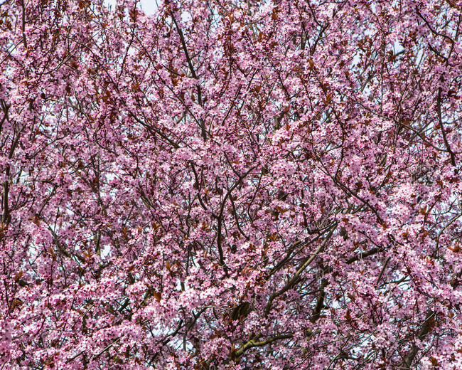 Blooming ornamental plum tree. Bright pink blossom and flowers on the branches. Spring in Seattle