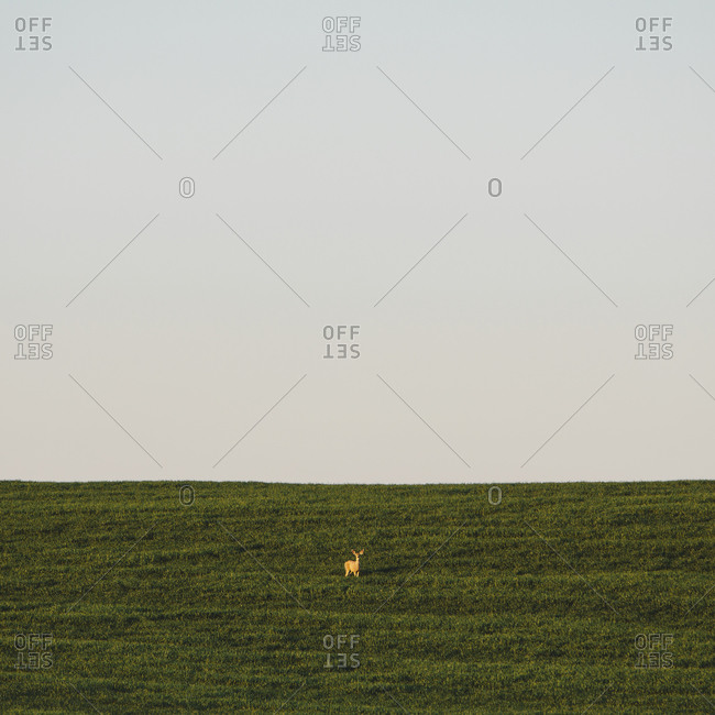 A startled white tail deer in a field of lush