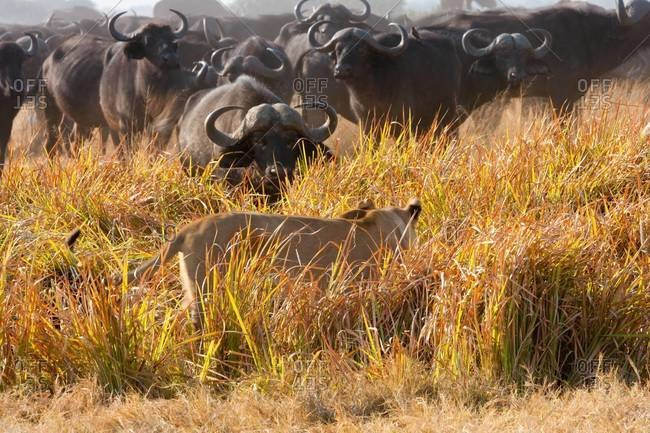 African lion and buffalo
