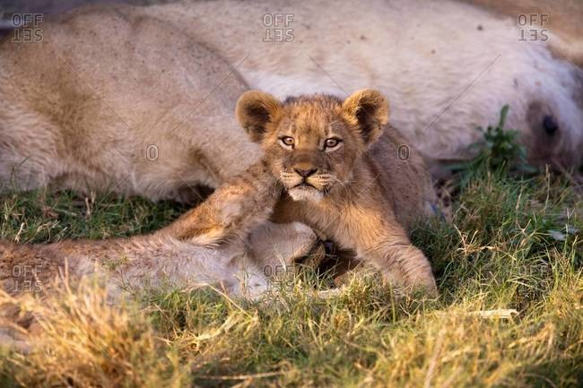 African lion cubs playing next to sleeping parent