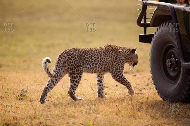 Leopard approaching a vehicle - Offset