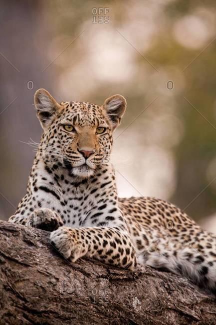Leopard on tree limb