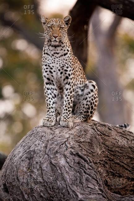 Leopard perched on tree root