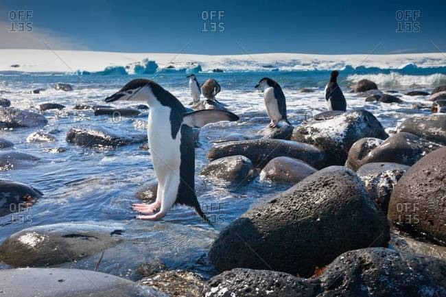 Chinstrap penguins jumping in water
