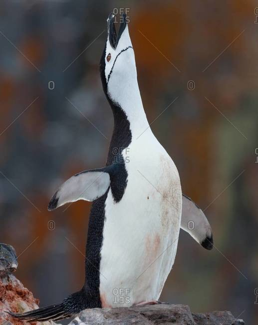 Chinstrap penguin stretching flippers and looking upwards in a display