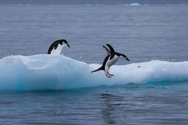 Gentoo penguins jumping off iceberg