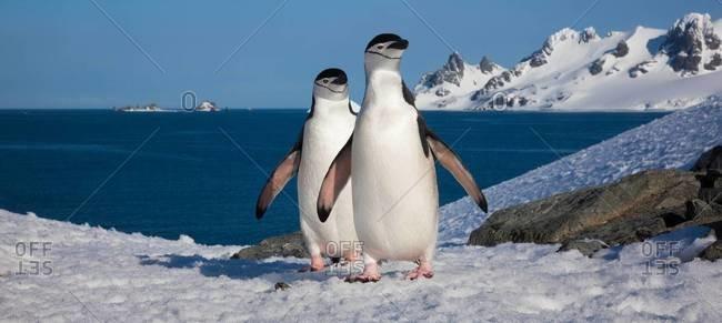 Chinstrap penguins waddling along ice