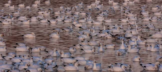 Snow geese in a lake