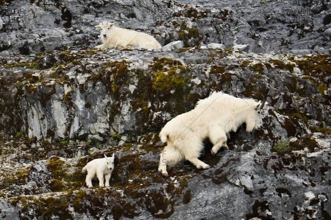 Mountain goats and kid
