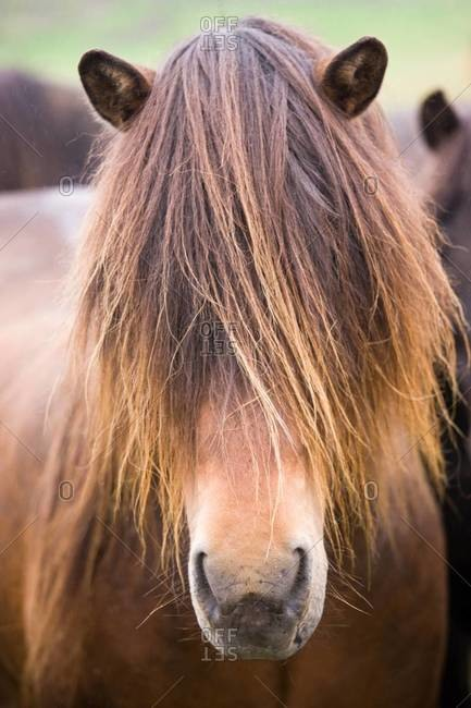 Close up of Icelandic horse