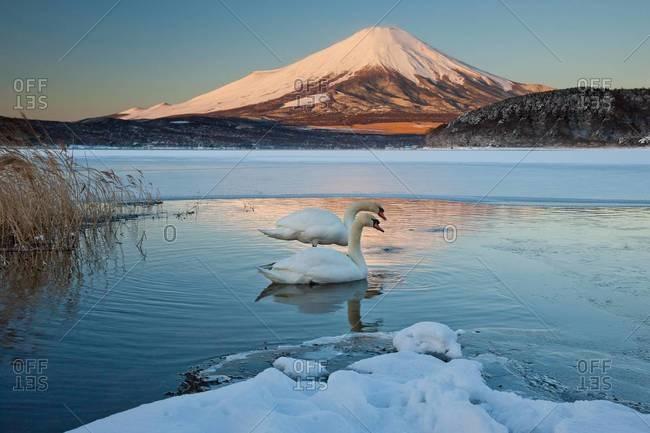 A pair of mute swans in Lake Kawaguchi disrupt the reflection of Mt Fuji, Japan