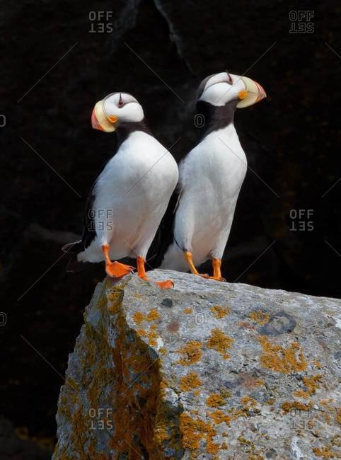 White-chested puffins from the Offset Collection