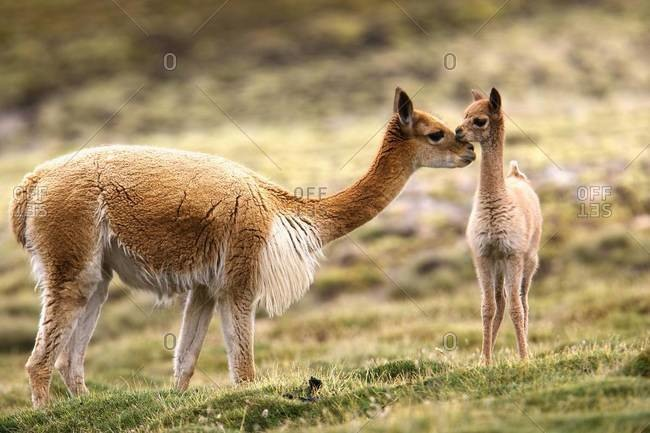 Guanaco photo from the Offset Collection