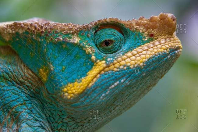 Close up of Parson\'s Chameleon