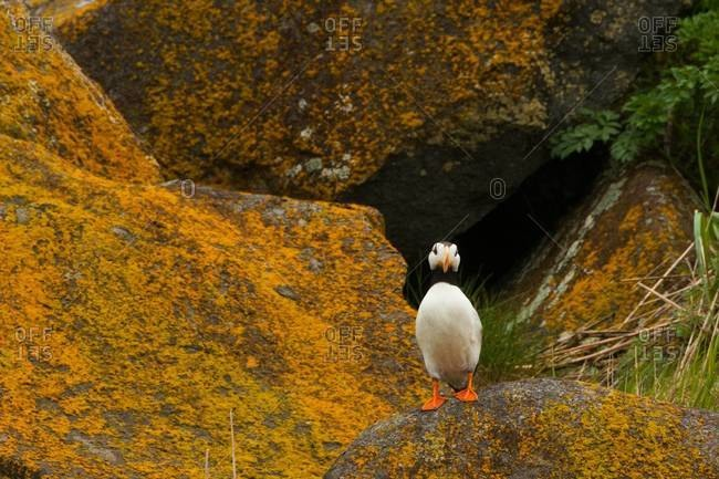 Horned puffin from the Offset Collection