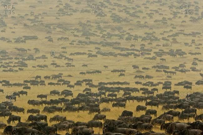 Herd of wildebeest crosses the open plains of southern Kenya\'s Mara River region