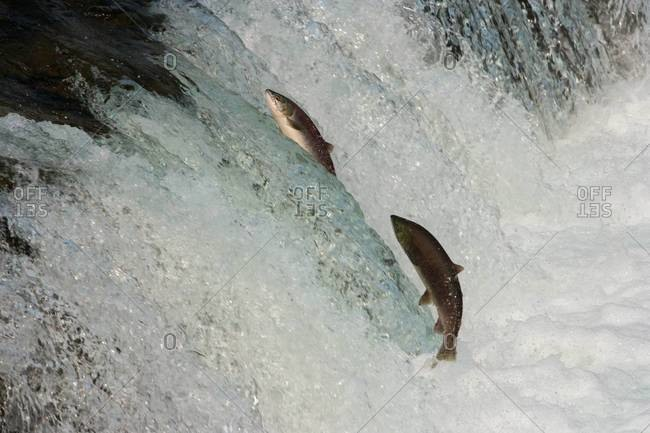 Two salmon leaping upriver against the current