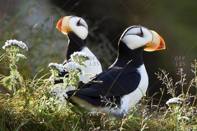 Horned puffins from the Offset Collection