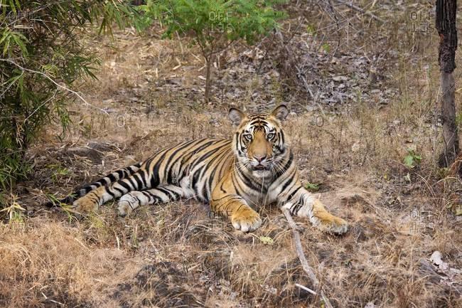 A tiger in Bandhavgarh National Park, India