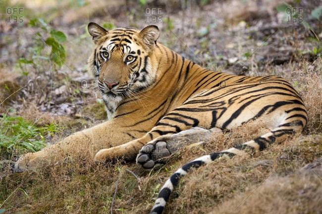 An adult tiger in Bandhavgarh National Park, lying on the ground