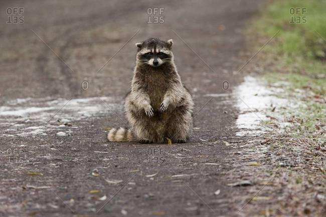 A small raccoon sitting in the road in San Juan Island