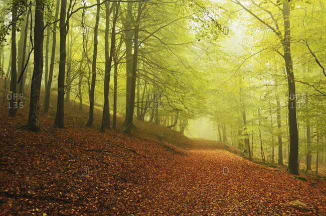 Beech forest and morning fog