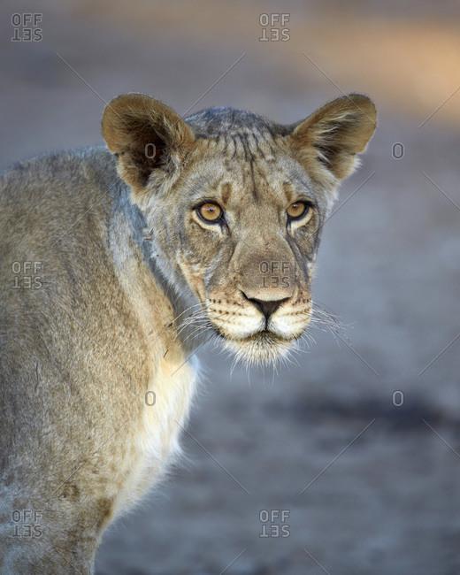 Young lion (Panthera leo)