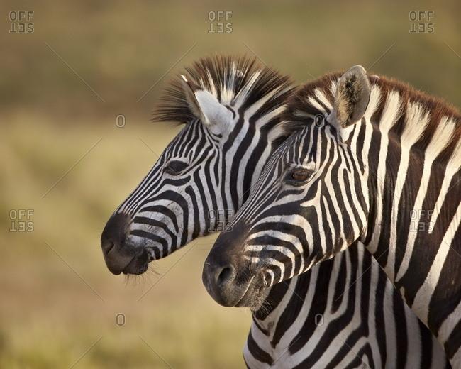 Tow common zebra (Plains zebra) (Burchell's zebra) (Equus burchelli)