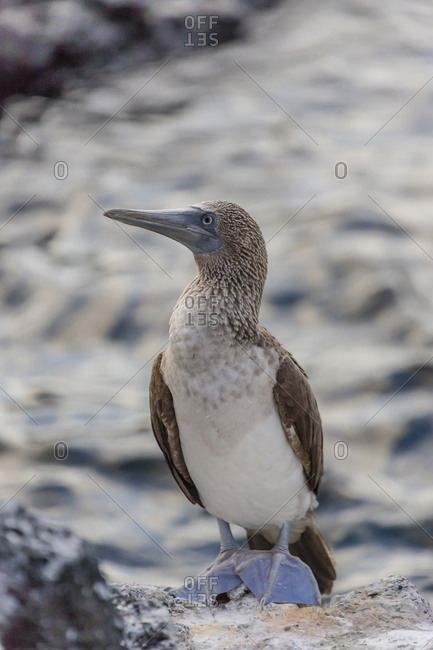 Blue-footed booby (Sula nebouxii) with purple feet at Puerto Egas, Santiago Island, Galapagos Islands, UNESCO World Heritage Site, Ecuador, South America