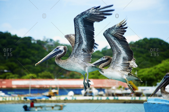 Two brown pelicans flying