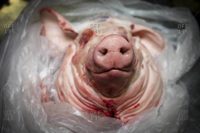 Front view of a butchered pig's head