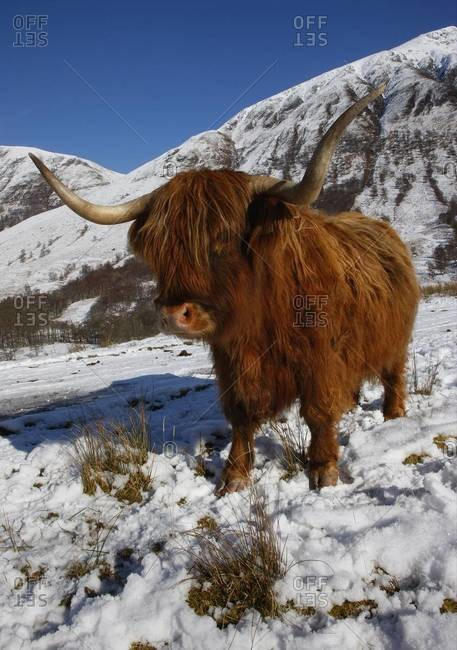 Highland cow grazing in Glen Nevis