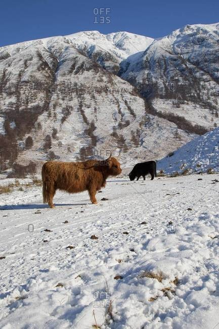 Highland cows grazing in Glen Nevis