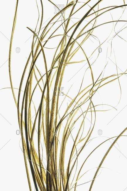 Detail of ornamental grasses on white background