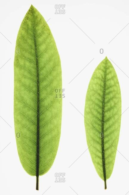 Two green Rhododendron leaves, one large, one small, close up