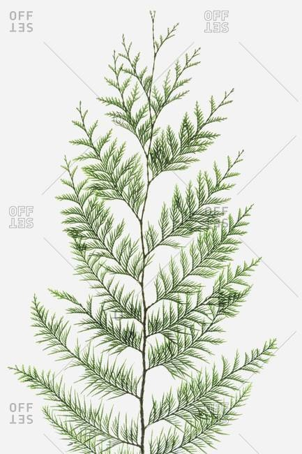 Western red cedar tree branch with green linear shaped leaves against a white background