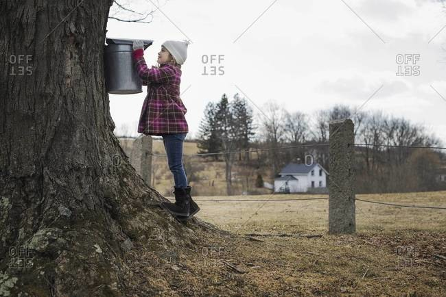 A young girl holding a bucket which is tapping the sap from the tree