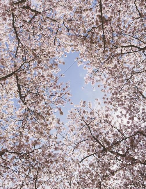 Frothy pink cherry blossom on cherry trees in spring in Washington state viewed from the ground against a blue sky
